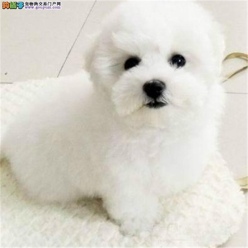 康泰名犬出售纯种迷你小体型白色卷毛犬比熊犬幼犬
