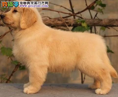 康泰名犬出售纯种黄金猎犬大头宽嘴金毛寻回猎犬