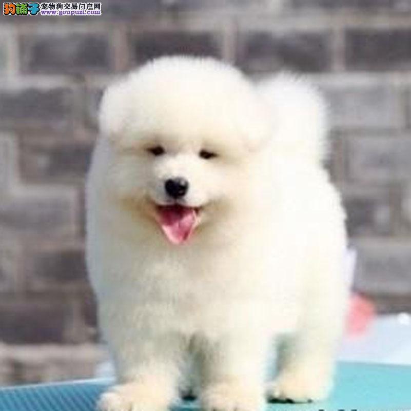 康泰名犬出售纯白色澳版纯种微笑天使萨摩耶雪橇犬幼犬