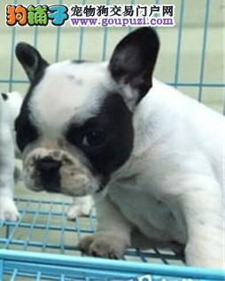 康泰名犬出售纯种短毛狗海盗脸奶白色黑色法国斗牛犬