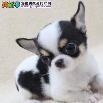 康泰名犬出售玩具茶杯迷你泰迪犬博美犬吉娃娃犬幼犬