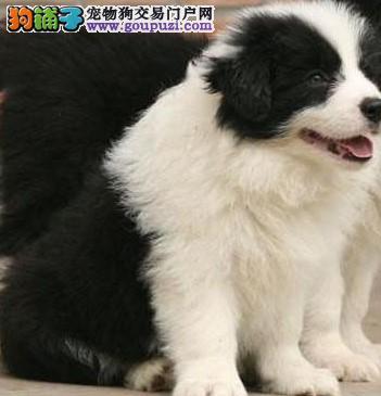 康泰名犬出售聪明易训通脖通缝飞盘狗边牧犬幼犬