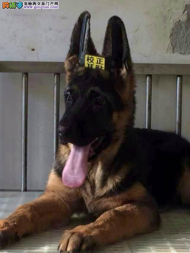 康泰名犬出售弓背黑背纯种德国牧羊犬狼狗