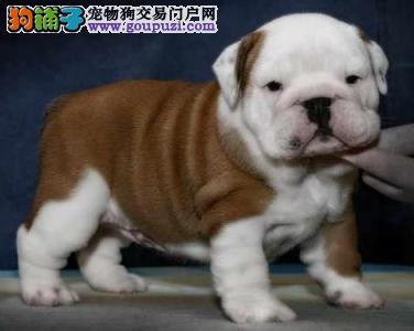 康泰名犬出售纯种霸气双血统大肉嘴短毛英国斗牛犬