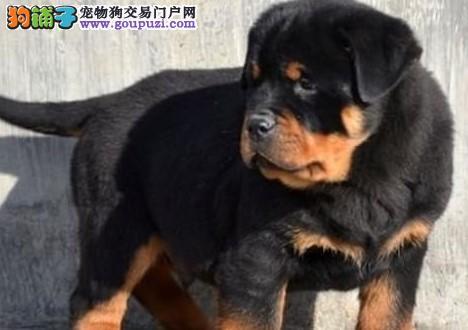 康泰名犬出售纯种德系大头护主断尾凶猛狗罗威纳犬