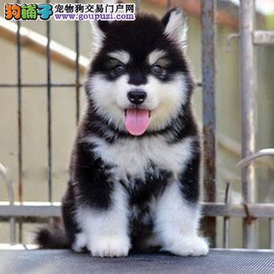 康泰名犬出售纯种熊版黑色桃脸巨型阿拉斯加幼犬