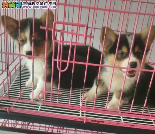 出售双三色小短腿纯种柯基犬幼犬