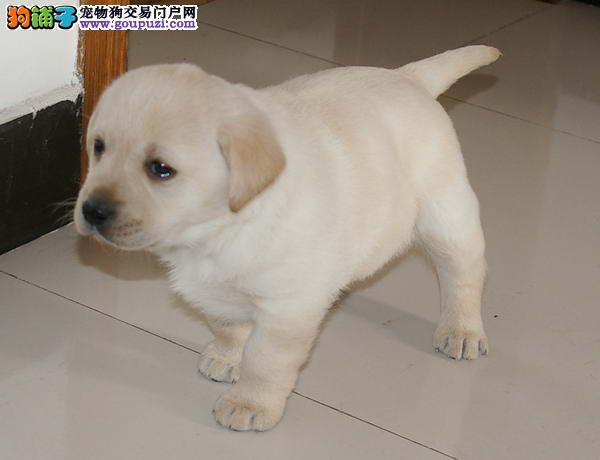 康泰名犬出售奶油白黄色纯种赛级聪明的拉布拉多导盲犬