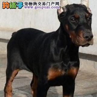 康泰名犬出售 赛级德系完美身材杜宾犬幼犬