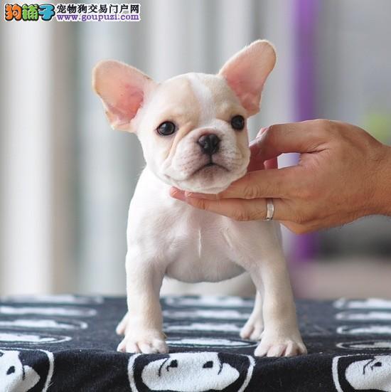 出售聪明伶俐法国斗牛犬品相极佳微信视频看狗