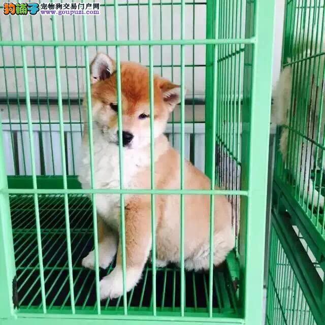 张掖哪里有卖柴犬 纯种日系柴犬价格 赤色柴犬好养吗