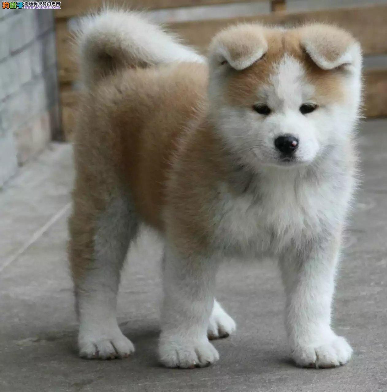 长春哪里有卖秋田犬 纯种日系秋田价格 秋田犬好养吗
