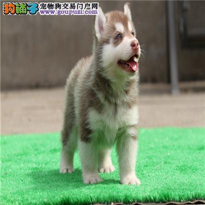 天津大型犬舍低价热卖极品哈士奇微信咨询视频看狗