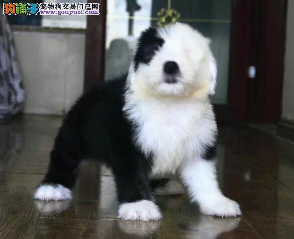 国际注册犬舍 出售极品赛级古代牧羊犬幼犬签署各项质保合同