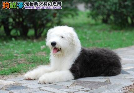 家养多只广东古代牧羊犬宝宝出售中下单有礼全国包邮