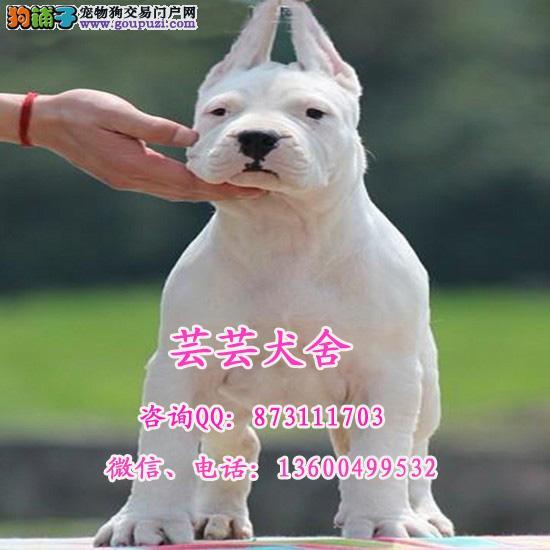 专业繁殖出售纯种杜高犬 霸气凶猛杜高幼犬 芸芸犬舍