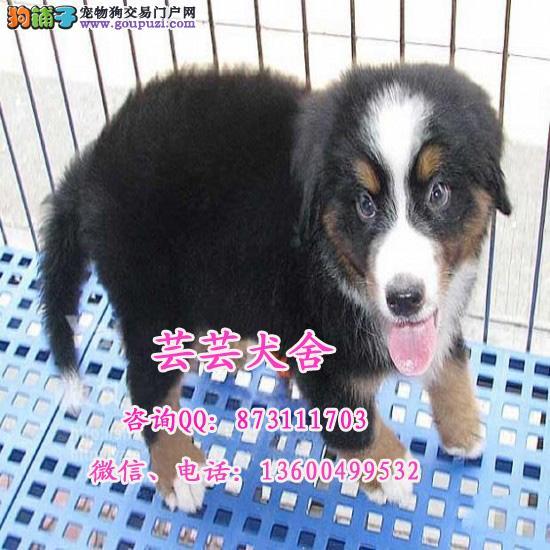 伯恩山犬瑞士国犬、高端伴侣犬、精品幼犬待售