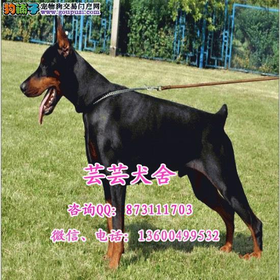 出售纯种德系、美系杜宾 专业繁殖犬舍 健康品质保证