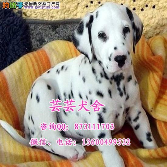 出售高品质斑点幼犬 签署各项质保协议 广东芸芸犬舍