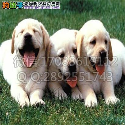 家养一窝纯种忠实聪明拉布拉多导盲犬出售公母均有可挑