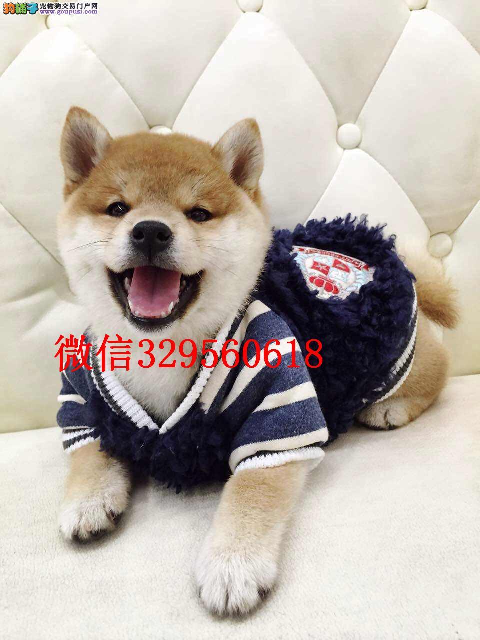 大连哪里卖柴犬 日本柴犬出售 柴犬多少钱一只