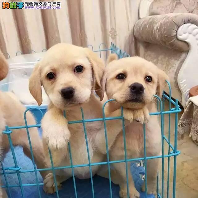 高品质大头宽嘴拉布拉多幼犬出售 包纯种包健康