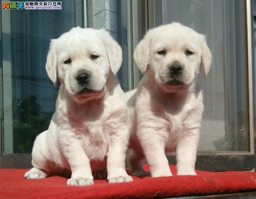 乌鲁木齐哪里卖奶白色拉布拉多犬 黑色拉布拉多价格