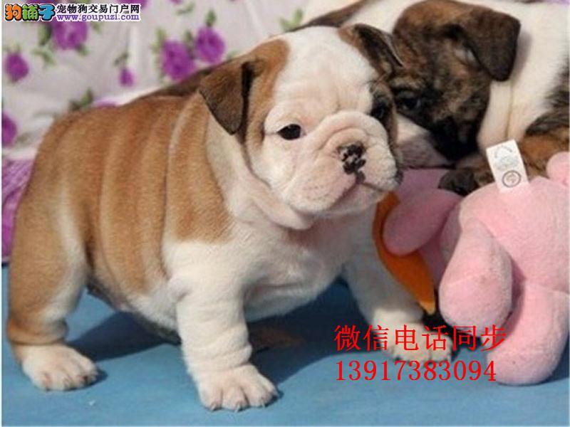 大鼻筋英国斗牛犬出售 憨厚可爱 疫苗打好 身体健康