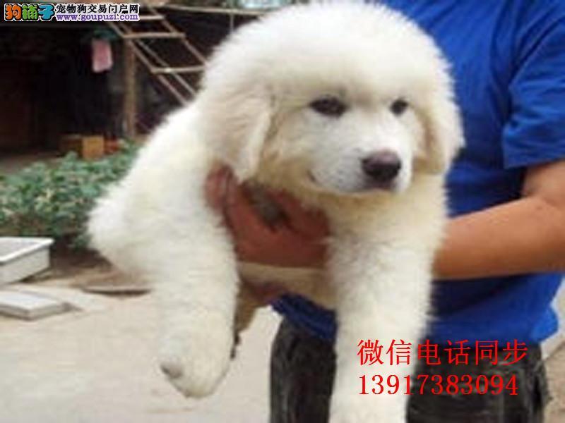 赛级大骨量双冠大白熊幼犬 可上门看狗 签协议