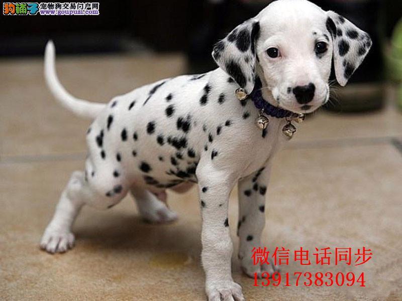 大麦町斑点狗带血统出售中质量三包 疫苗做完