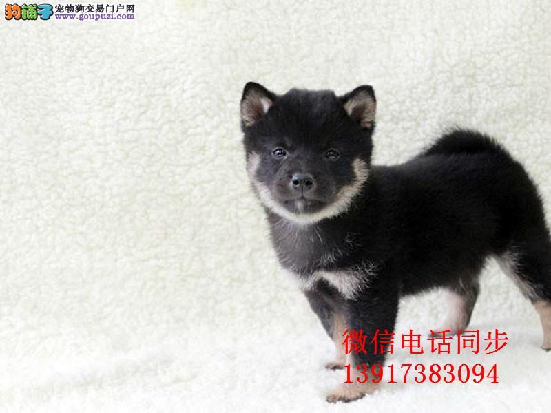 赛级日本柴犬幼犬 品相好 血统纯 可签协议