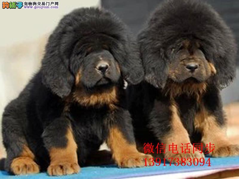 犬之王藏獒 大骨架 大狮子头 可签协议