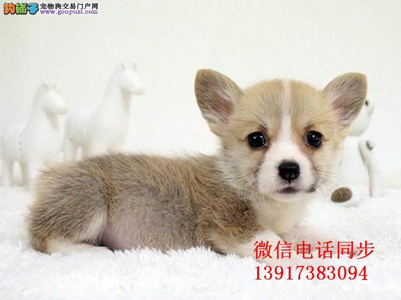 纯种威尔士柯基犬,俩色三色均有,保证健康纯种签协议