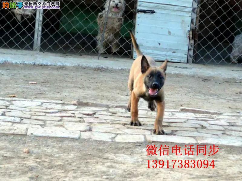 纯种马犬幼犬 可签协议保健康 最时尚的警犬军犬