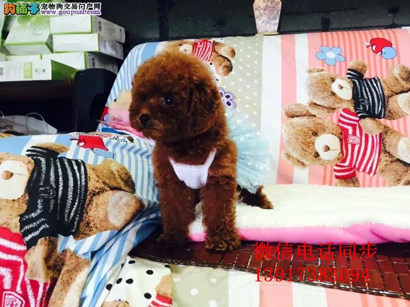 精品韩国小体 聪明可爱的泰迪犬 保健康签协议