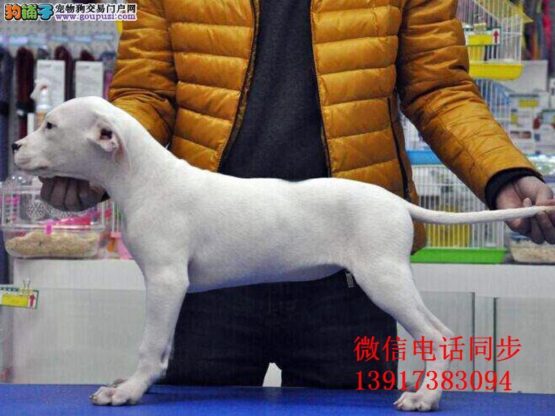 出售纯种狩猎杜高犬 保证纯种健康 终身质保 饲养指导