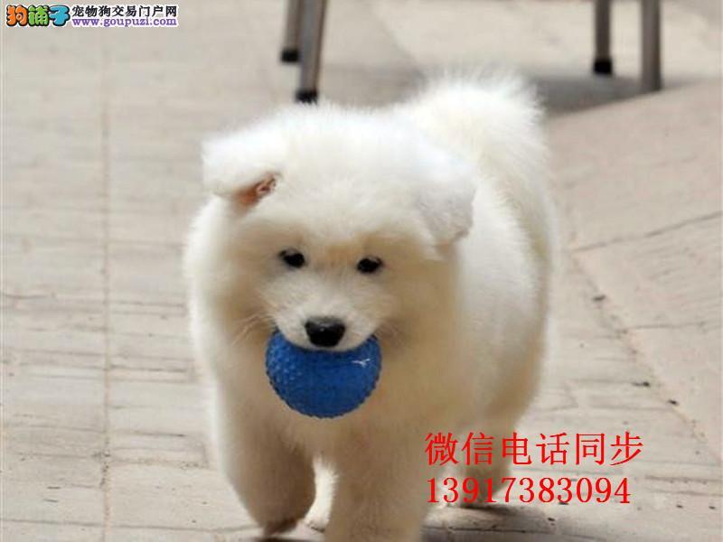 澳版微笑天使宝宝纯种健康赛级萨摩耶幼犬出售