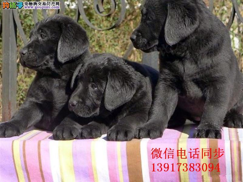 最佳伴侣犬拉布拉多、专业繁殖、品质保证实物拍摄