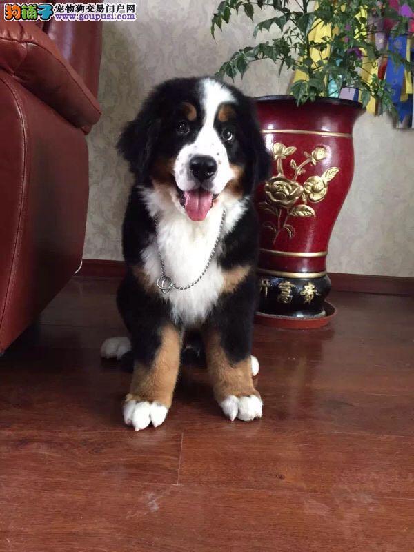 伯恩山纯种幼犬,常年繁殖出售,保健康保售后