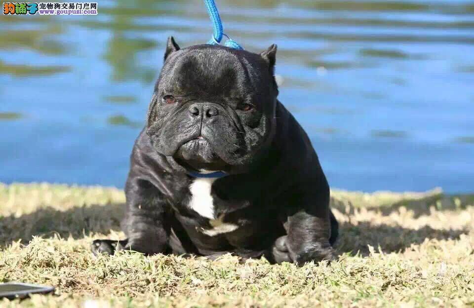 多种颜色的苏州美国恶霸犬找爸爸妈妈微信咨询视频看狗