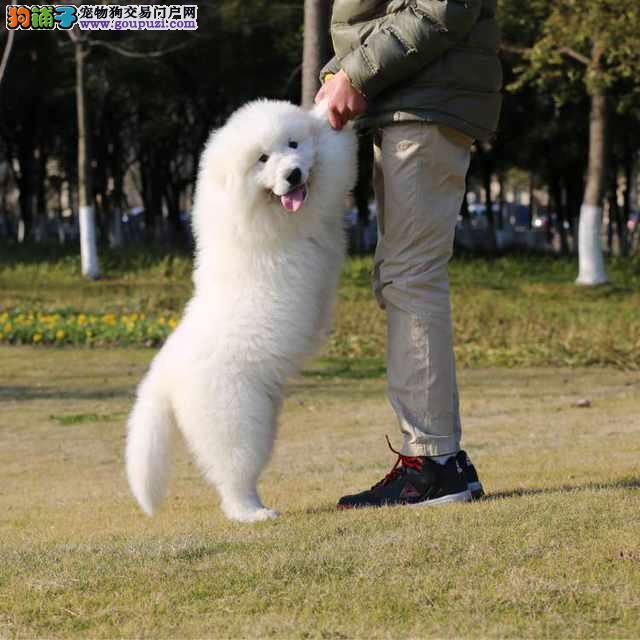 鞍山哪里有卖大白熊纯种大白熊幼犬出售大白熊能长多大