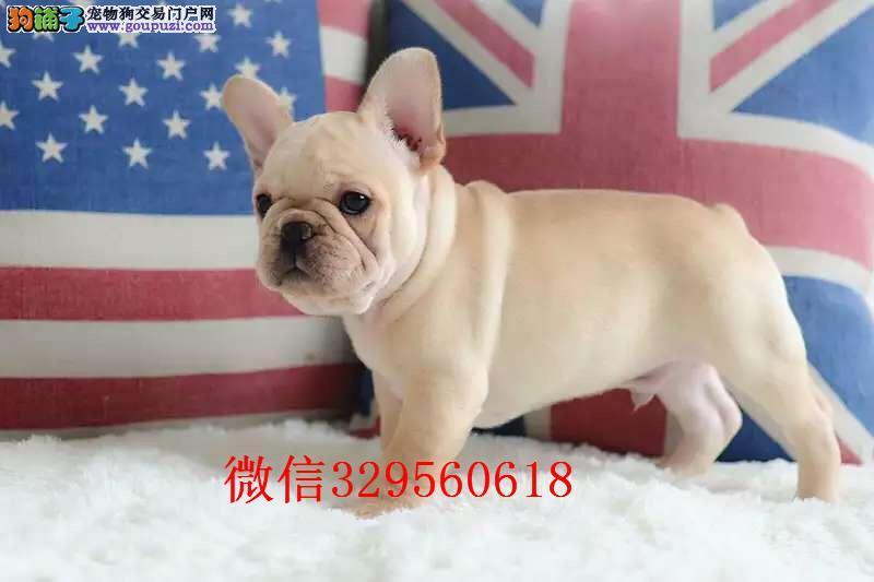 鞍山哪里有卖法斗 纯种法国斗牛出售 奶油色法斗犬出售