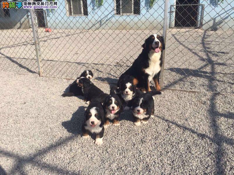 伯恩山犬,山地犬,耐性强,性格稳定,带证书