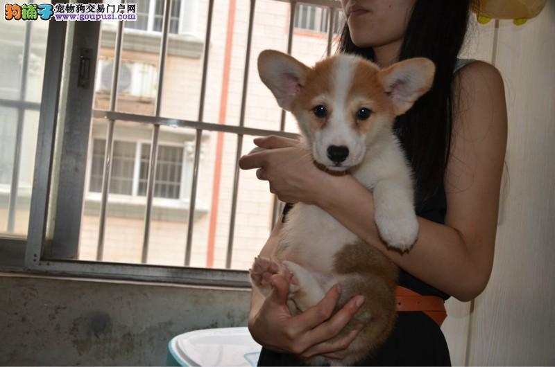 柯基犬,三色,双色,纯种短腿柯基幼犬,带证书芯片