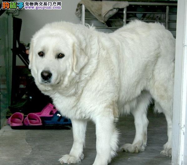 多窝可选,纯种大白熊犬,可加微信看狗