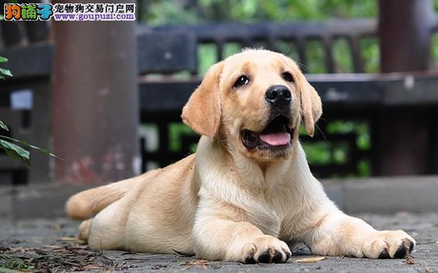 赛级纯种拉布拉多犬,自家犬舍繁殖,可微信看狗选