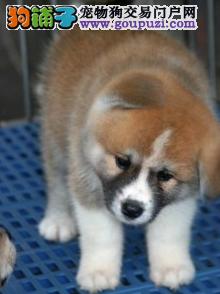 日本柴犬价格合理品相好驱虫预防已做