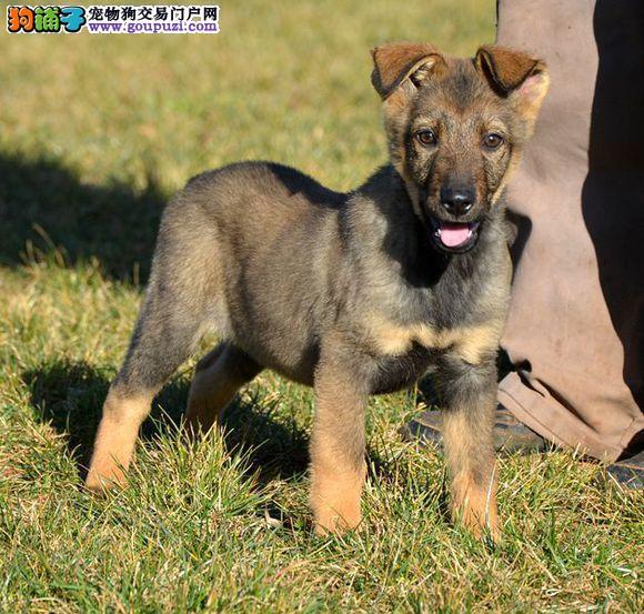 精品纯种西城昆明犬出售质量三包质量三包多窝可选