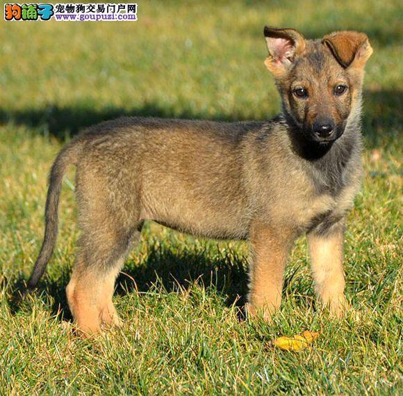 出售赛级昆明犬、CKU认证血统纯正、诚信经营保障