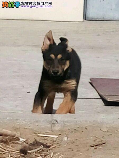 精品纯种赤峰昆明犬出售质量三包欢迎上门选购价格公道